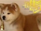 国外引进,赛级秋田犬,带证书,签协议,支持上门挑选
