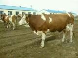小母牛價格大母牛價格