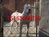 杜高犬多少钱一只,哪里出售杜高犬,成年杜高价格,三个月杜高犬