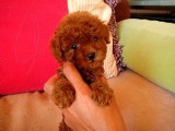 长期繁殖可爱玩具体泰迪 各类纯种名犬
