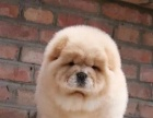 纯血统高品质松狮幼犬出售 身体健康纯种