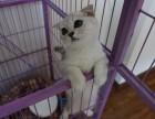 重庆正规猫舍重庆猫舍重庆折耳猫幼崽重庆折耳猫价格