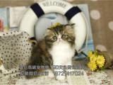 出售純種波斯貓幼貓包純種包健康簽協議