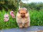 自家大狗生了一窝博美犬可以上门看狗父母