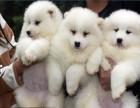 重庆出售纯种萨摩耶幼犬 公母齐全 包健康 包纯种 签协议