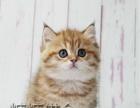 美短加白 虎斑加白 加菲猫 蓝猫蓝白布偶金吉拉