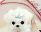 长毛马尔济斯幼犬是迷你小型的小狗狗很聪明