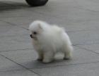 纯种的博美犬多少钱 宠物店的狗靠谱吗