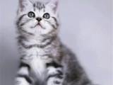 上海嘉定純種美國短毛貓全國包郵