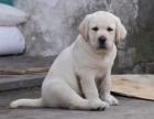 骨架大温顺聪明 导盲犬拉布拉多幼犬 保证品质
