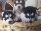 上海狗狗之家长期出售高品质 哈士奇 售后无忧