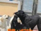神犬同款拉布拉多 犬舍批发各种宠物保健康