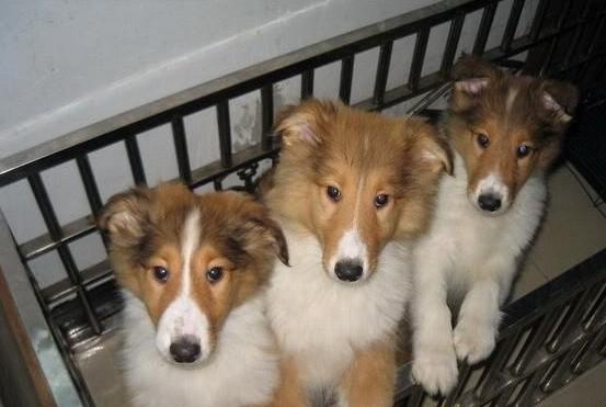 纯种苏格兰牧羊犬幼犬 毛色靓体型佳 健康保障多窝选