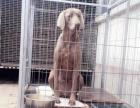 魏玛猎犬成母出售