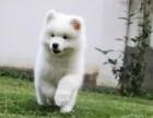 雪白无痕萨摩耶繁育基地常年幼犬出售 实地挑选