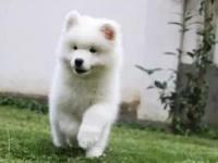 成都澳版熊版纯白萨摩耶 赛级品质 签终身健康纯种合同