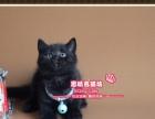 稀有霸气的黑色英短小美女--《思晴名猫坊》
