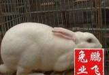 湖南肉兔新品种肉兔皮
