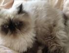 喜马拉雅猫BB男生