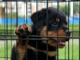 送货上门。家养一窝纯种罗威纳幼犬出售,公母都有,疫苗已打,