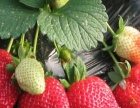 新鲜草莓市里送货