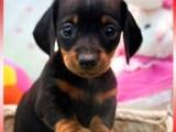出售正宗血统优秀的腊肠犬可以送货上门