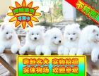 实体狗场可签协议 纯种萨摩幼犬可看狗父母