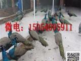 小孔雀多少钱一只 孔雀苗多少钱