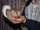 昆明轩铭萌宠,雪地松鼠销售,云南轩铭雪地松鼠
