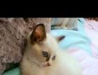 海豹双色布偶猫低价转让。价格面议。
