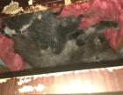 自家养的蓝猫 五只 两个月后出售,欢迎朋友们,预定 ,