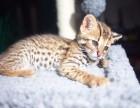 青岛哪里卖虎斑猫 哪里卖的虎斑猫便宜 青岛虎斑猫的价格是多少