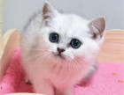 武汉哪里出售纯种英国银渐层短毛猫英国银渐层短毛猫的价格多少