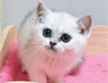 济南哪里出售纯种英国银渐层短毛猫英国银渐层短毛猫的价格多少