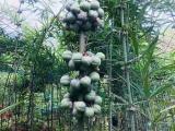 凉山滇黄精种子价格 产品质量保证