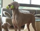 皇家魏玛犬幼犬出售价格可谈