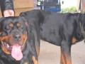 狗场多条德牧,罗威那,金毛,马犬,边境对外配种