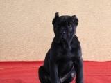 纯种意大利纯血统重头版的卡斯罗护卫犬卡斯罗幼犬