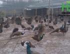 脱温孔雀养殖场 出售纯种脱温孔雀苗 孔雀苗的价格