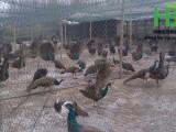 茂名孔雀养殖场 大型孔雀养殖基地