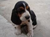 在哪里买纯种的巴吉度幼犬 巴吉度幼犬最低多少钱