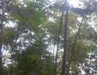 出售自己种植的楠木风景树和桂花树