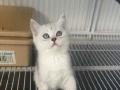 出售纯家庭繁殖纯种英短渐层 短毛猫 无病无癣包健康