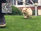 哪里出售松狮犬 纯种松狮犬多少钱