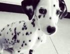 出售高端 大气 斑点狗 纯种繁殖 大麦町犬气质不凡