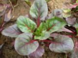 红叶甜菜哪里有卖的,专业的草花提供商,当属昭鑫花卉苗木