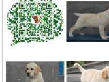 正规犬舍繁殖出售精品拉布拉多犬 疫苗驱虫齐全