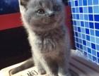 纯种 赛级 蓝猫 北京实体猫舍 专业繁殖 多窝可选