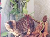 出售高品质大玫瑰花纹豹猫,常年种公借配