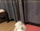 纯种爱犬萨摩耶可爱